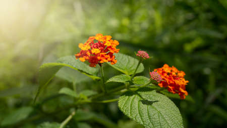 West indian lantana, one of wild plants which have the wonderful orange flowers. This plant could treat various diseases such as rheumatism, skin itching, TUBERCULOSIS and many more