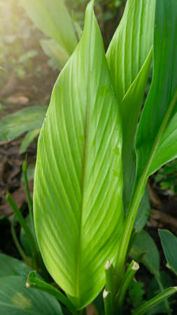 Turmeric leaves or Curcuma longa Linn with wide leaves, one of the medicinal plants and immune enhancer Imagens