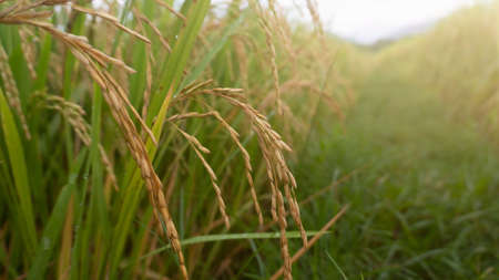 Rice plants enter the harvest season, appear to contain grain because of enough water and pest free
