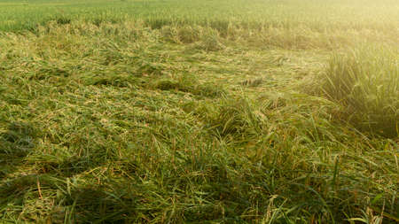 Rice plants that collapsed in the wind when entering the harvest season