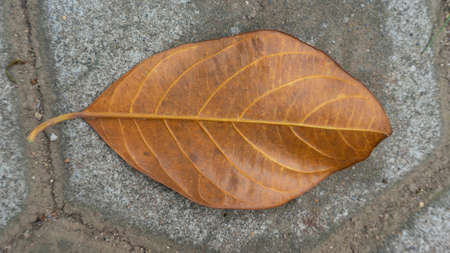 Dried jackfruit leaves that fall on the paving floor. Season changes are happening when a pandemic occurs Banque d'images