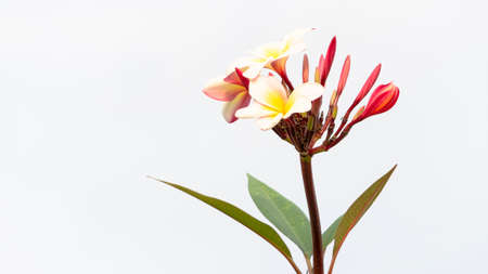 Plumeria or Frangipani, one of the flowers commonly used as outside home decoration. Easily planted and cared for Foto de archivo