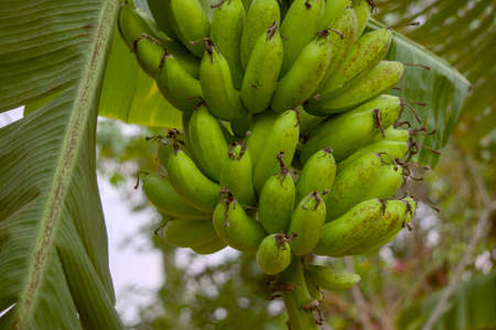 Bananas are starting to turn yellow entering the harvest season. Banana is a fruit that contains lots of vitamins and calcium for dietary needs