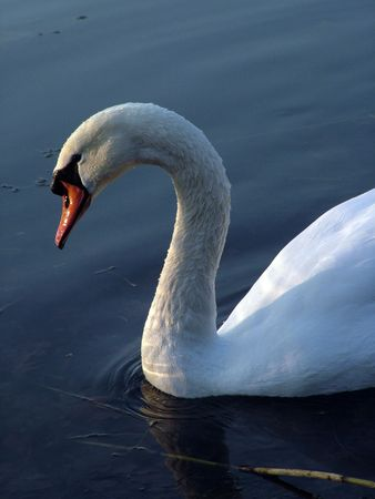 webbed legs: Mute swan in the twilight of day