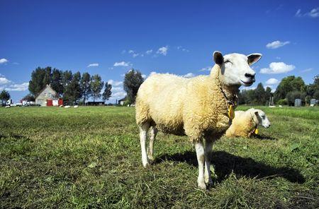 Standing lamb in field Standard-Bild