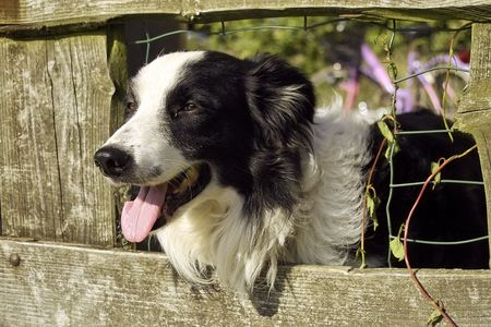 sheepdog: Sheepdog peeping