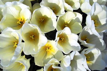 White tulips from above
