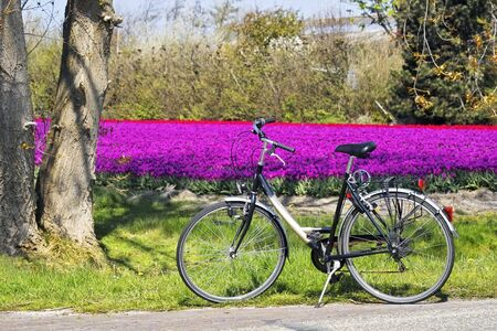 Bicycle parked in front of a field of purple tulips photo
