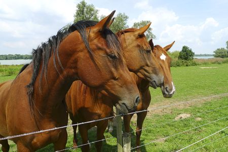 Three horses standing side by side Stock Photo - 5325551