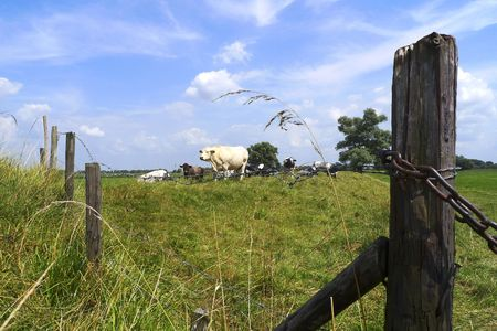 A herd of cows enclosed in a field in Holland Stock Photo