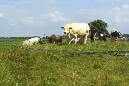 enclosed: Close-up of cows enclosed in a field in Holland