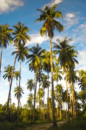 A forest of palm trees under a blue sky in Thailand Stock Photo - 5885725