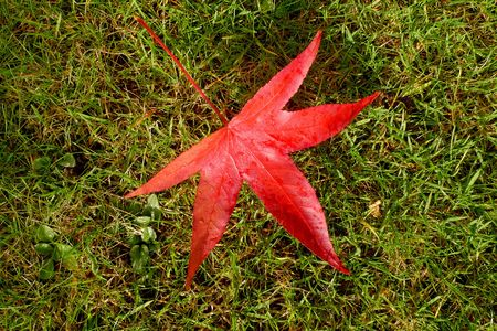 A bright red maple leaf lying in the grass