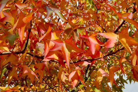 Coloured autumn leaves hanging in the tree