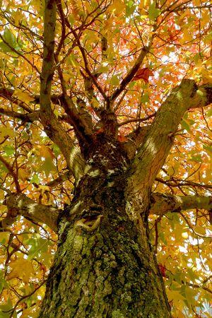 Looking upwards towards the top of a tree Stock Photo - 5891768