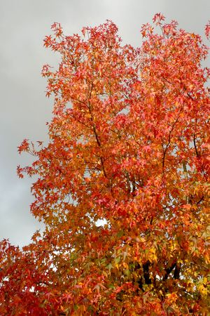 An autumn tree against a grey stormy sky Stock Photo - 5891767