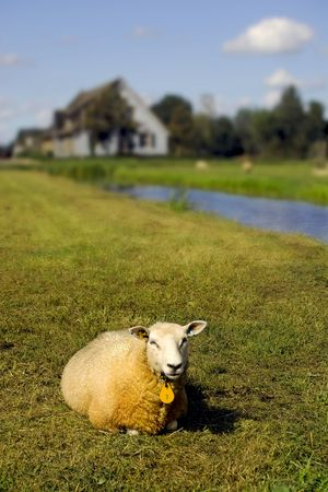 A lonely sheep sitting in a field photo