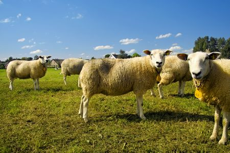 A flock of sheep standing in a field waiting