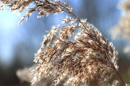 cane plumes: Close up of tall winter feathery grass in bright sunlight against a blue sky Stock Photo