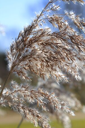 cane plumes: Close up of tall winter feathery grass in bright sunlight