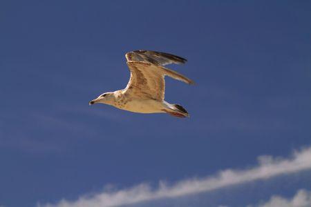 Seagull in flight against a deep blue sky