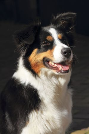 Portrait of a collie dog sitting outside in a sunny street Stock Photo