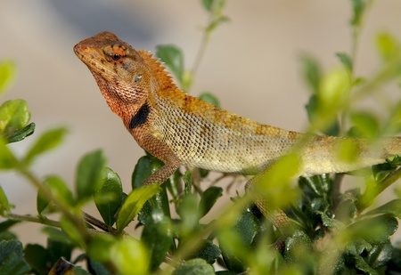 Oriental Garden Lizard, Calotes versicolor, crawling through a hedge