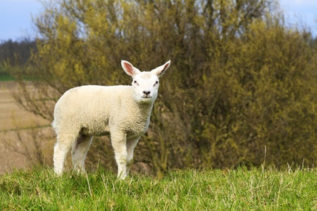 A cute lamb standing on a hill staring Stock Photo - 9993273