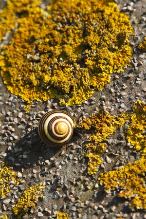 Sleeping snail on a stone wall coverd in yellow fungus Stock Photo