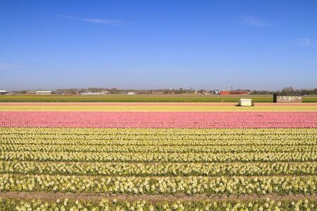 Fields of blooming pink and yellow hyacinths in Holland photo