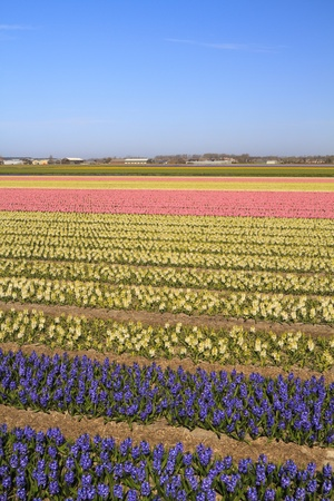 Colorful hyacinth fields in bloom under a blue sky in Holland