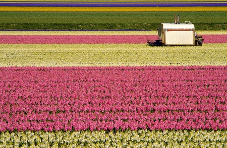 Cutting machine in the colorful hyacinth fields of Holland Stock Photo