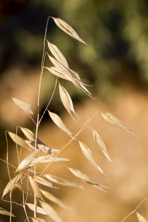 Sheaf of wild wheat against a green and yellow background photo
