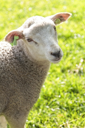 Cute wooly lamb looking while standing in a field in the sun