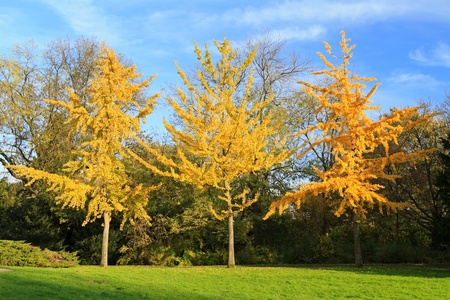 Three golden colored autumn trees standing in a row in the park Stock Photo