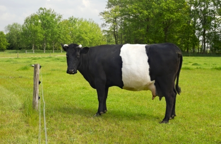 Belted Galloway Cow with distinctive white stripe standing in a green field on a sunny day