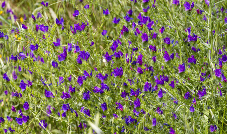 Meadow of small bright purple flowers swaying in the wind photo