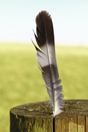 Single fallen feather stuck into an old tree stump outside photo