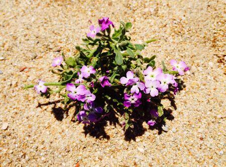 Sandy soil: Manojo de flores silvestres de color p�rpura en el suelo arenoso Foto de archivo