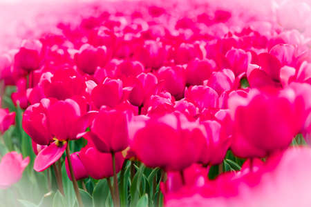Field full of colorful pink tulips Stock Photo