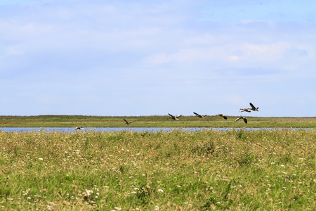 Geese taking flight over the grassland and lakes in the Dutch nature reserve of Oostvaardersplassen Stock Photo