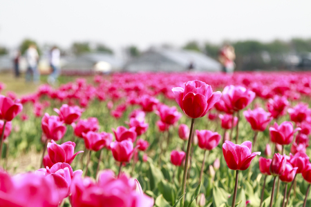 Visitors walking between the glorious array of pink tulips in the flower fields of Holland