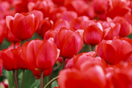 Glorious array of red tulips close-up in the flower fields of Holland photo