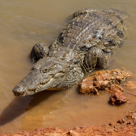 alligators: Alligators waiting in the hot African sun on the waters edge.