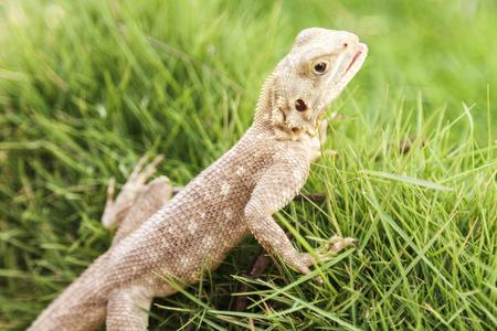 Cute single Mimetism lizard in long lush green grass.