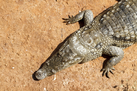 bove: Alligator from a bove in the hot African sun.