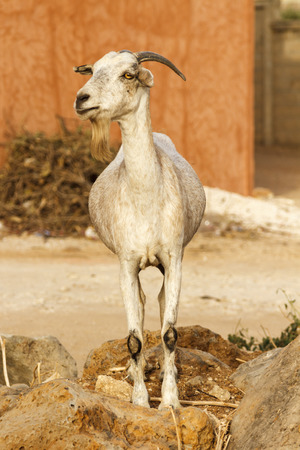 Single bearded goat standing on some rocks in the hot sun.