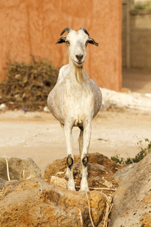Single bearded goat staring standing on some rocks in the hot sun.