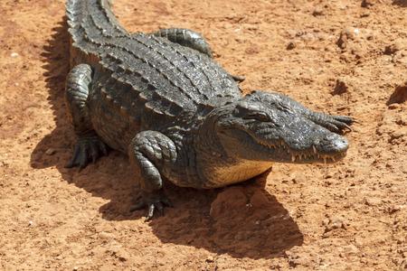 Alligator waiting in the hot African sun.