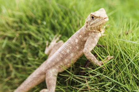 Single Mimetism lizard in long lush green grass.